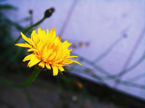school summer plants flower macro nature work denmark bokeh danmark skive jutland jylland sonydsch5 ådalskolen