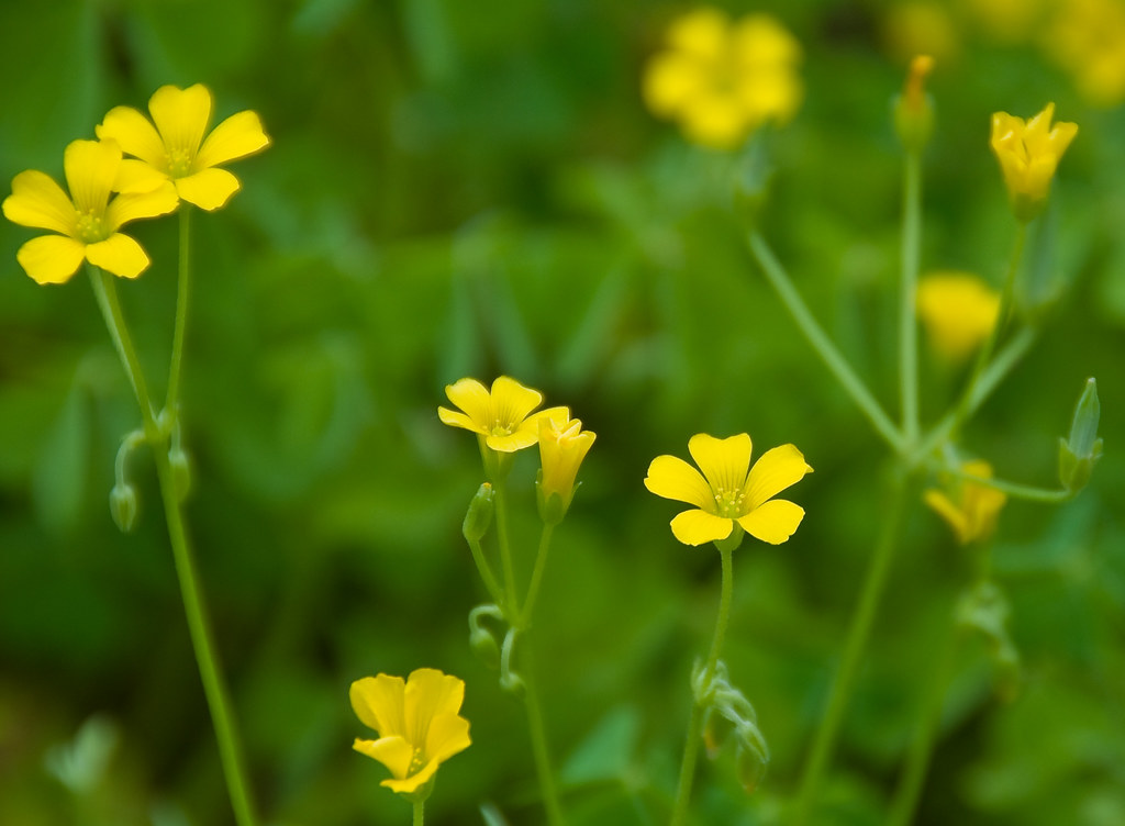 Yellow Clover Flowers Here Are Some Pretty Little
