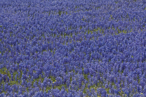 Texas Bluebonnets | by Derek Bridges