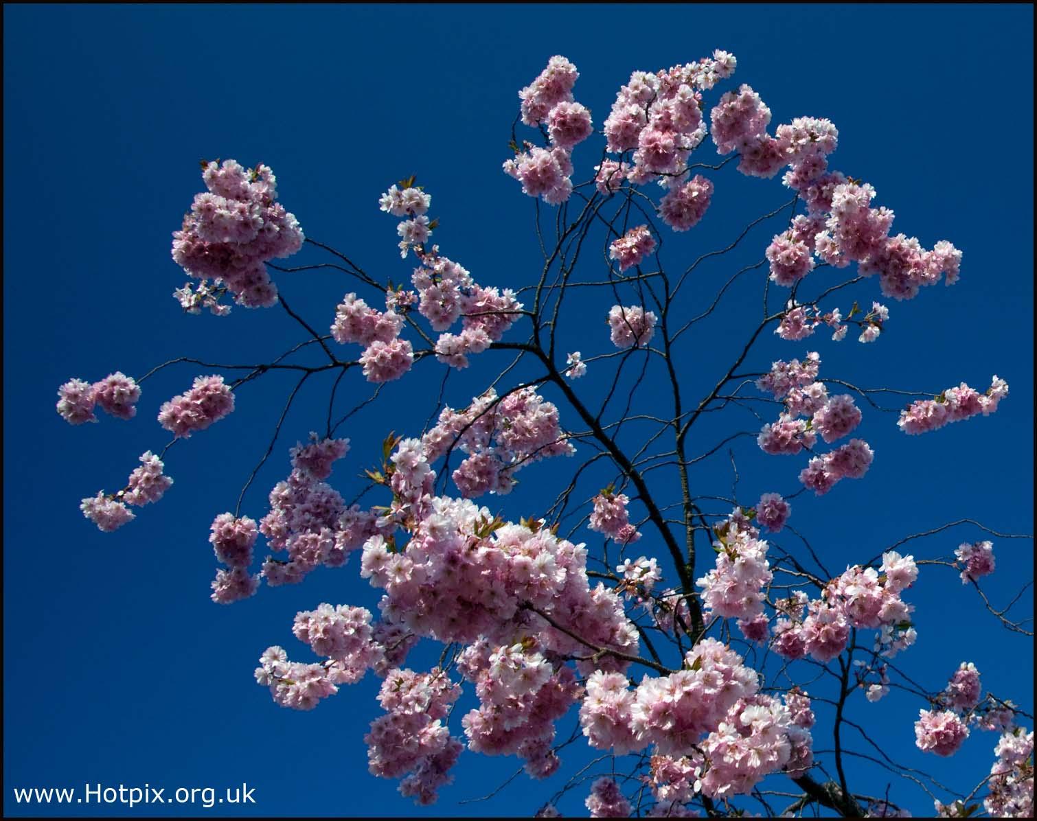 Naturbl\u00fctenblume,flores,purpurrotes,rosarotes,Blumenkirschbaumbuschstrauchfr\u00fchling,Sakura-blauer,Himmel,primavera,nature,blossom,flower,purple,pink,red,flowers,cherry,tree,bush,shrub,spring,sakura,blue,sky,rouge-rose,pourpre,de,ciel,bleu,ressort,d'arbuste,buisson,cerisier,fleurs,fleur,rosado,p\u00farpura,del,cielo,azul,resorte,arbusto,cerezo,tonysmith,HDR,sex,sexy,hotpix!