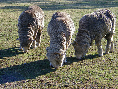 Merino Sheep at Greenfield Village | by Maia C