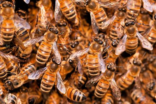 Honey Bee Swarm | by kaibara87