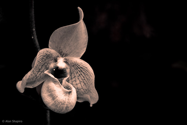 An Orchid full of bravado