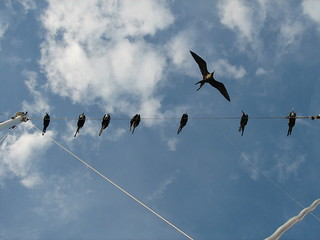 Frigate Birds on the rigging