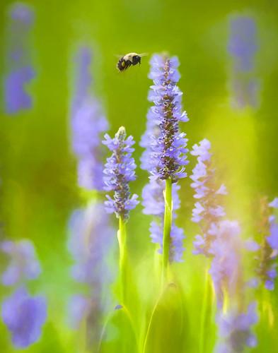 flower franklin nc july northcarolina impression topaz sps 2015 perryswatergarden carlfredrickson ©carlfredrickson2015