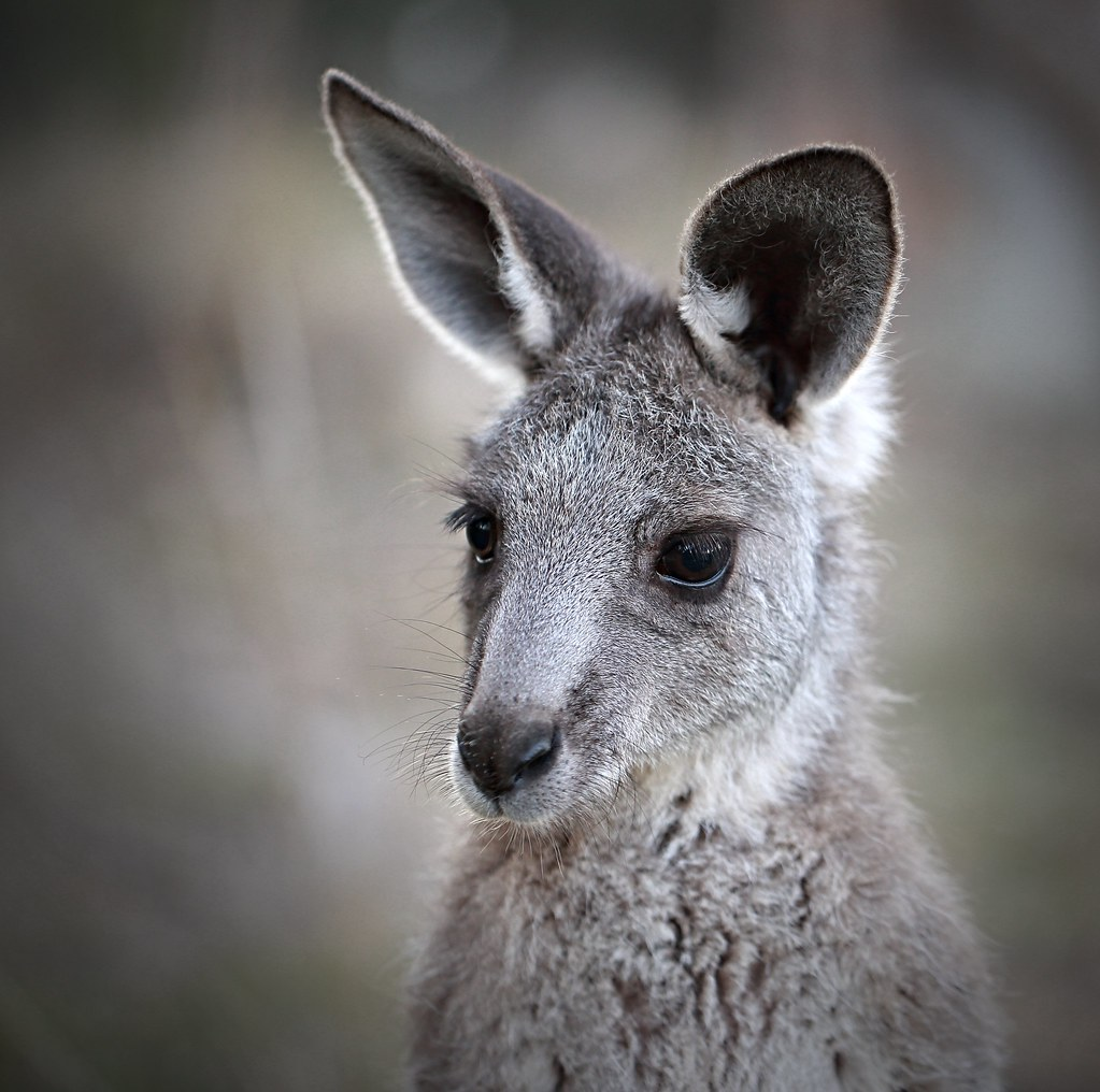 Portrait of an Eastern Grey Kangaroo joey   A common ...