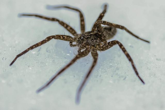 Spider On Ice