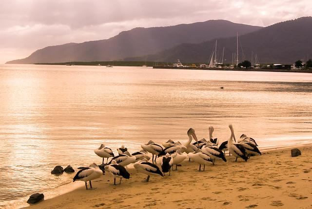 Pelicans VII