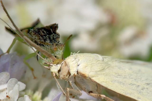 2016 The Dastardly Jagged Ambush Bug (Phymata erosa)
