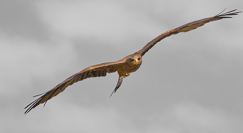 Yellow Billed Kite | by Mark Lattimer-Hedley