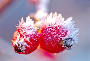 frosty rosehips | by johnhouston20