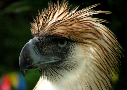 Image result for philippine eagle