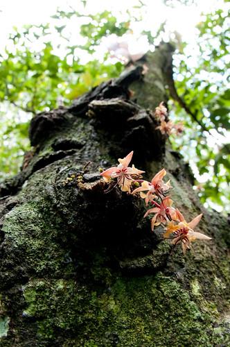 Flor de cacao   by mdelcid
