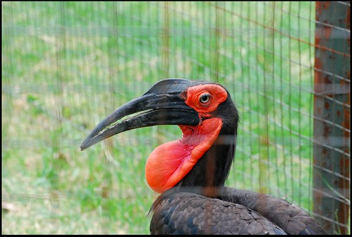 Ground Hornbill | by zenseas