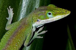 Green lizard | by Little Fat Monkey