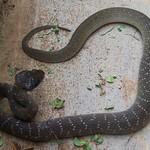 Herald Snake - Crotaphopeltis hotamboeia 1c