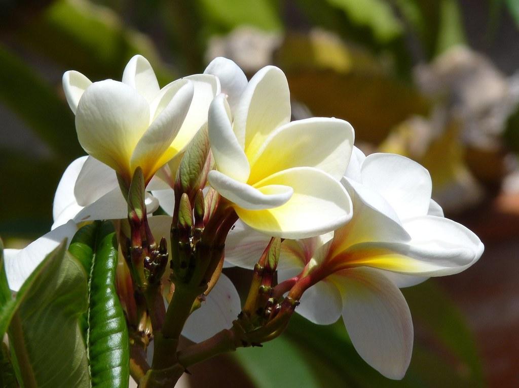 Fiore Giallo 6 Petali.Taormina Frangipani In Sicily Plumeria Acutifolia Flickr