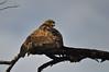 Sunbathing Madagascar buzzard by Louise Jasper