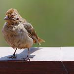 California Towhee (Melozone crissalis)