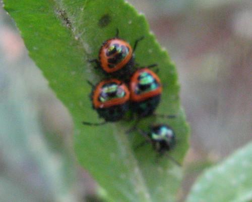 Nymphs of petatomid bug