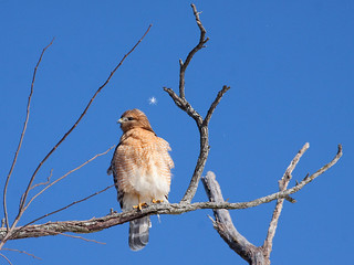 Loudon Red Shouldered Hawk | by Trailpixie