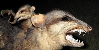 White-eared Opossum(Didelphis albiventris) .................  Original= (3237 x 1630)