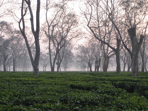 Tea fields of Assam | by Eric Gropp
