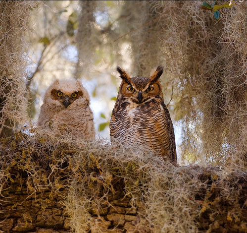 Mother and Young Horned Owl | by donaldthompson95