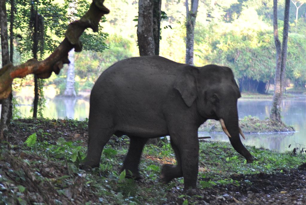 Elephants in Danum valley