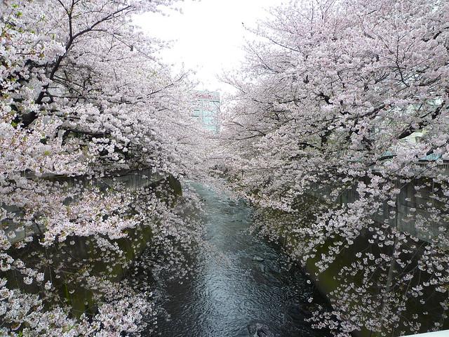 神田川・面影橋の桜