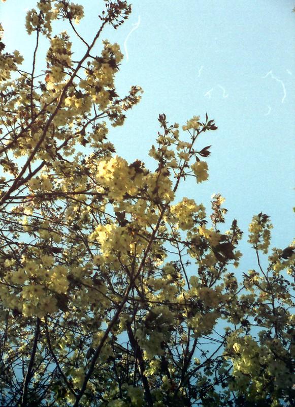 黄色い桜 by Noël Café