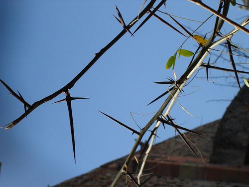 "Monastary in Queretaro, Mexico (""Crown of Thorns"" tree)"