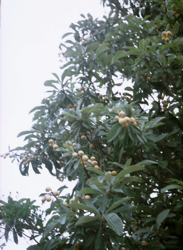 枇杷の木も欲しい by Noël Café