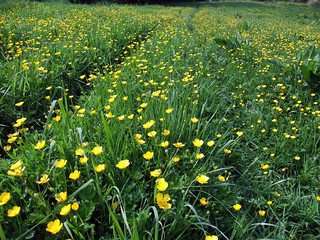 Buttercup Meadow | by John Clift