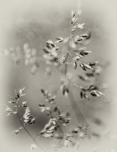 bw canada novascotia windy capebreton grasses cs4 d700 niksfilters sittininafield