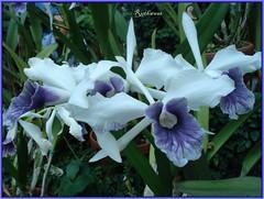 DSC02037 Orchidee