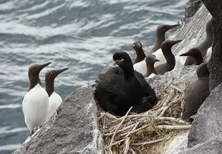 European Shag and Common Guillemots | by Wild Chroma