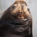 Flickr photo 'Male California Sea Lion (Zalophus californianus) (part of set of 4)' by: mikebaird.