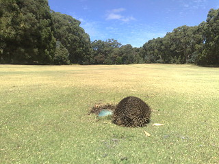 Golf game went spikey at Leongatha Golf Club | by Mike Hauser