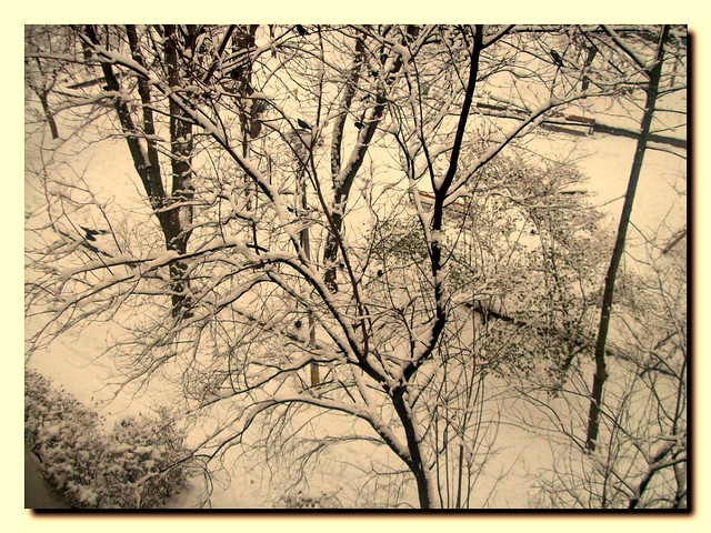 trees from my kitchens window with black birds-Varjak a parkban