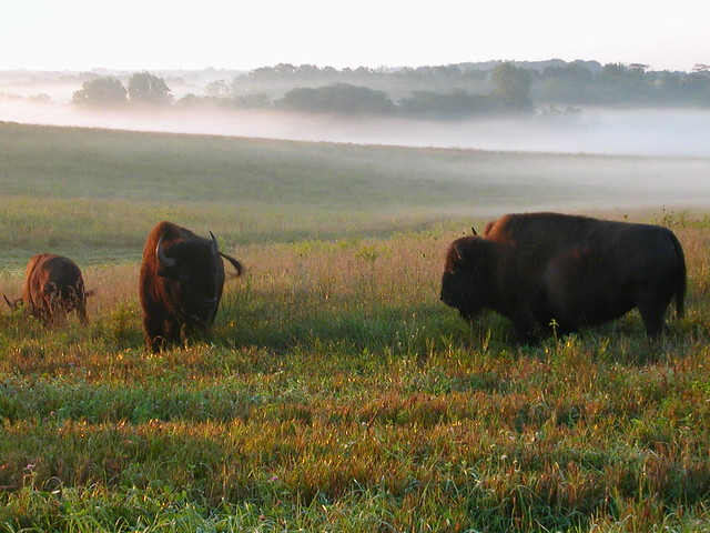 Bison roam the fields at Neal Smith National Wildlife Refuge