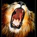 Lions Raw (roar)