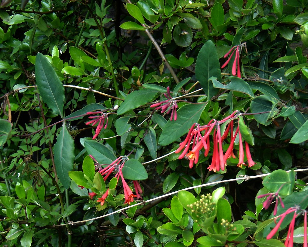 Image result for coral honeysuckle hummingbird