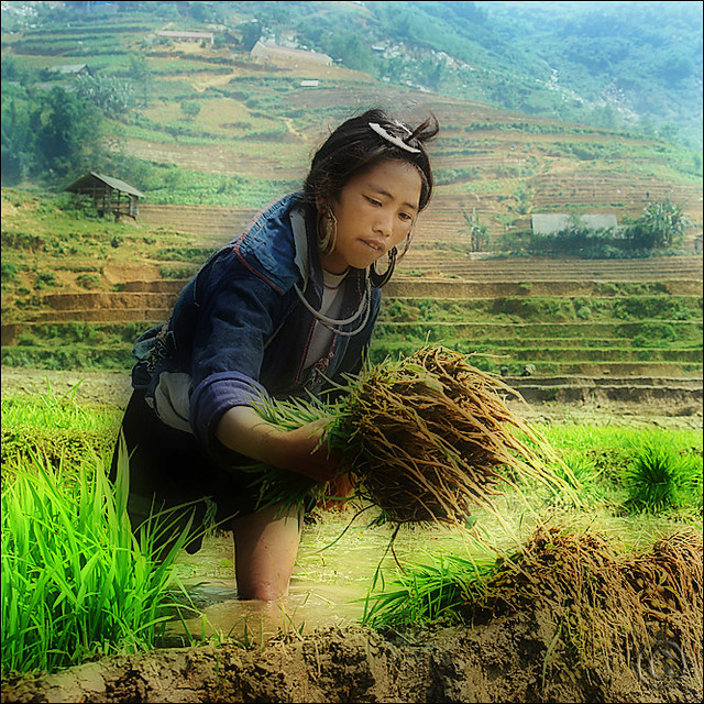 Rice – It's a way of life for us