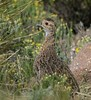 Grey-winged Francolin (Francolinus africanus) by Alan Manson