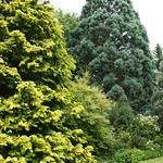 Sequoiadendron 'Hazel Smith' (1)
