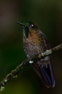 Tyrian Metaltail | by chlorophonia