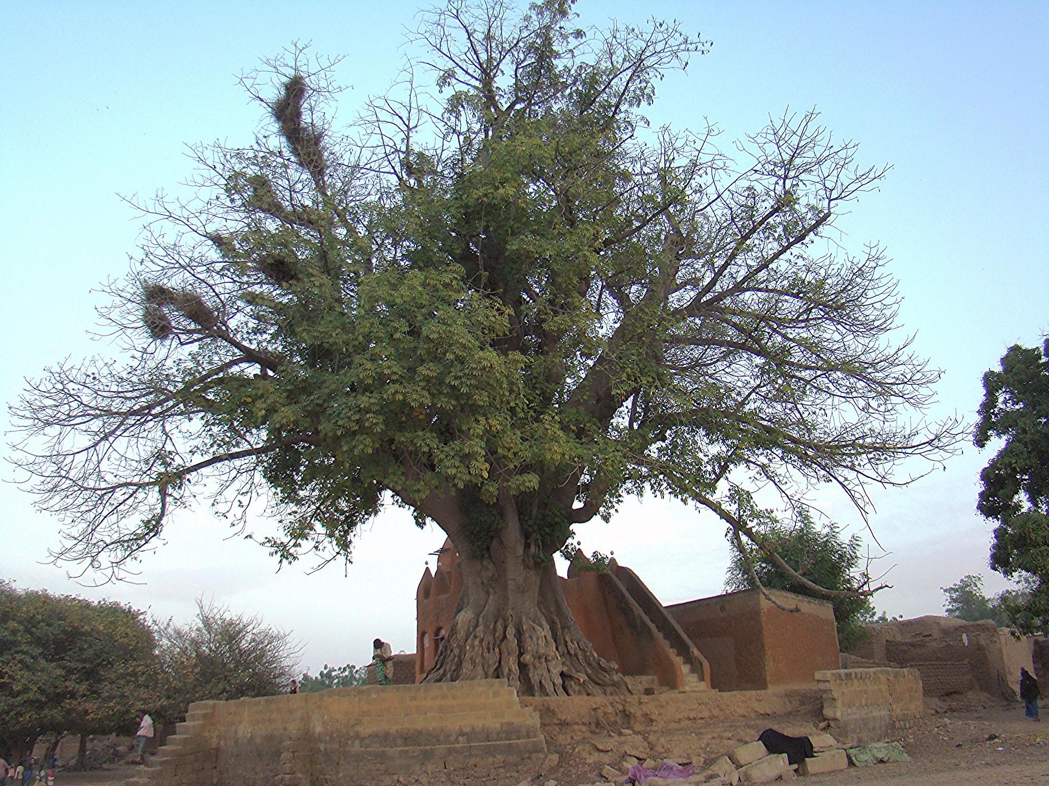 Baobabs arbol de Mali