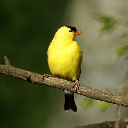 American Goldfinch | by Mike's Birds