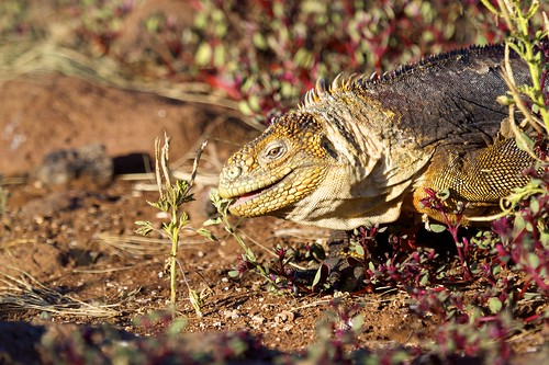 Land Iguana (Conolophus) Munching on Grass | by bbum